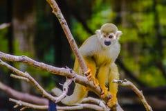 在公开动物园的松鼠猴子 免版税库存图片