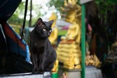 在公开泰国寺庙的黑离群猫 库存照片
