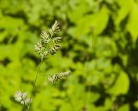 在公鸡` s英尺或猫草, Dactylis glomerata,特写镜头的Riping种子有绿色bokeh背景,选择聚焦 库存图片