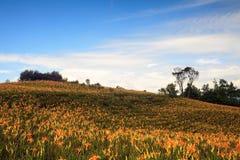 在六十座石山的橙色黄花菜 库存照片