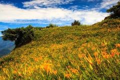 在六十座石山的橙色黄花菜 库存图片