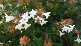 在六道木属开花2的蜂 免版税库存照片