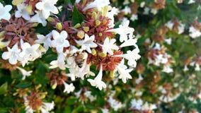 在六道木属灌木的蜂蜜蜂 库存照片