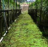 在兰花农厂走道的绿色青苔 库存图片