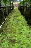 在兰花农厂走道的绿色青苔 库存照片