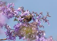 在兰花楹属植物分支的一只鸟  库存图片