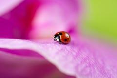 在兰花的叶子的瓢虫 免版税库存照片