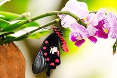 在兰花的蝴蝶 库存照片