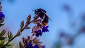 在共同的牛舌草的土蜂 库存照片