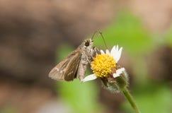 在共同的雏菊花的宏观蝴蝶与绿色自然backgr 免版税图库摄影
