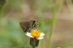 在共同的雏菊花的宏观蝴蝶与绿色自然backgr 库存图片