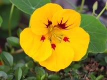 在关闭的一唯一黄色金莲花与红色中心 库存图片