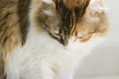在关闭的凝视的杂色猫图象下来 r 库存图片