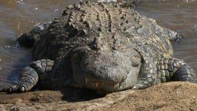 在关闭的前面在玛拉河的河岸的一条庞大的鳄鱼 股票录像