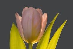 在关闭的唯一粉红彩笔郁金香花 免版税库存照片