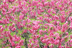 在关闭的开花的桃子花 图库摄影