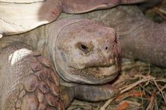 在关闭的Sulcata草龟 库存照片