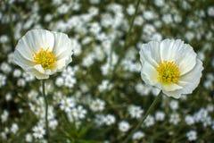在其他花被弄脏的背景的两白罂粟  库存照片