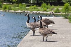 在具体壁架的四只鹅立场密歇根湖 库存图片