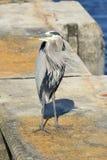 在具体打桩的伟大蓝色的苍鹭的巢 免版税库存照片