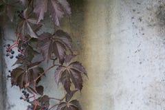 在具体生锈的墙壁背景的弗吉尼亚爬行物 库存照片