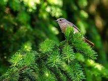 在具球果分支的逗人喜爱的鸟 免版税库存照片