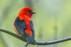 在养殖全身羽毛的公猩红色唐纳雀 马吉沼泽野生生物地区 俄亥俄 ?? 免版税库存图片