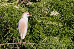 在养殖被栖息的全身羽毛和看的牛背鹭  免版税库存图片