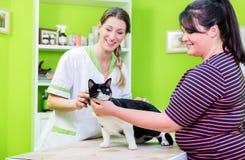 在兽医或宠物客厅的猫 免版税库存图片