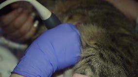 在兽医诊所的超声波诊断 股票录像
