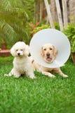 在兽医服务的两条狗 免版税库存图片