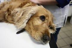 在兽医的西班牙猎狗 免版税图库摄影