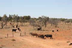 在内地牛 免版税图库摄影