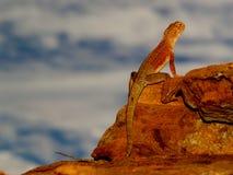 在内地蜥蜴 免版税库存图片