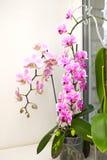 在内部的兰花 有选择性的软的焦点 在窗口的兰花 一朵充满活力的热带桃红色和桃子兰花开花,花卉backg 库存照片