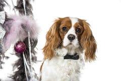 在再圣诞节装饰旁边的骑士国王查尔斯狗 库存图片