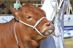 在农业市场的大布朗母牛 免版税库存图片