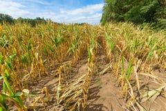 在农业干玉米的损伤在夏天 免版税图库摄影