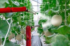 在农业未来派机器人自动化的聪明的机器人农夫瓜 库存照片