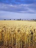 在农业玉米田横向视图间 图库摄影