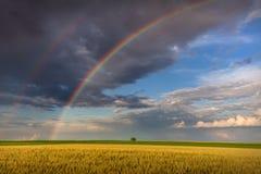 在农业领域的大彩虹与孤立树 免版税图库摄影