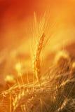 在农业领域的金黄麦子庄稼 库存图片