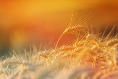 在农业领域的金黄麦子庄稼 库存照片
