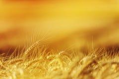在农业领域的金黄麦子庄稼 免版税库存图片