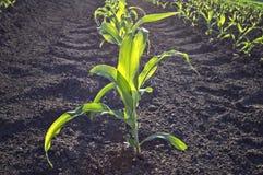 在农业领域的年轻甜玉米在早期的春天 图库摄影