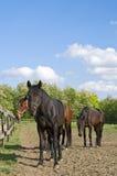 在农厂休息的马 免版税库存照片