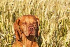 在农厂农场的热的晚上 五谷的耕种 狗头细节  在小麦领域的狗 库存照片