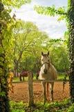 在农厂大农场的美丽的白马 库存照片