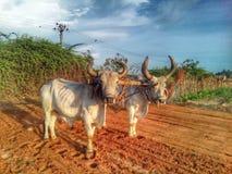 在农厂工作的一头黄牛两黄牛 库存图片