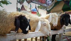 在农厂捅的四只绵羊 免版税库存图片